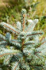 Young fir.
