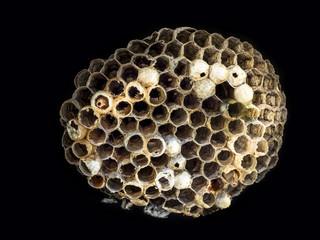 Wasp nidus