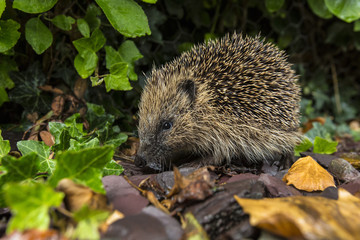 Western Hedgehog - British Isles