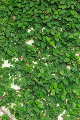 wall leaves