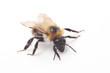 Obrazy na płótnie, fototapety, zdjęcia, fotoobrazy drukowane : Bumblebee isolated on white