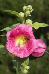 Цветок Мальва розовая