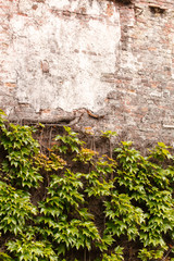wild grapes on the wall