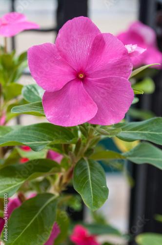 canvas print picture fiore rosa