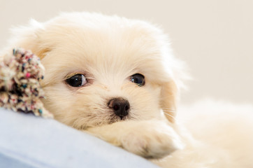 Forty five days Lhasa Apso