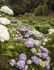 Hydrangeas at Trebah Gardens, Cornwall
