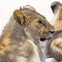 Lion rests in Serengeti
