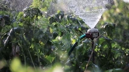 Watering garden nature
