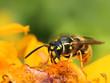 Obrazy na płótnie, fototapety, zdjęcia, fotoobrazy drukowane : Wasp in colorful summer flower