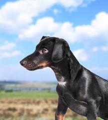 Black dachshund dog outdoors