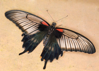 Swallowtail butterfly - Papilio anchisiades