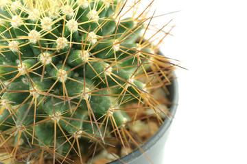 cactus in flower pot.