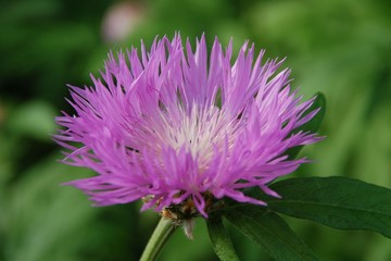 Rosa Bergflockenblume Wildblume