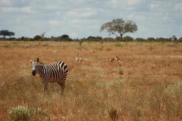Zebra in Prärie