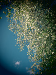 A filtered photo background dogwood flowers.