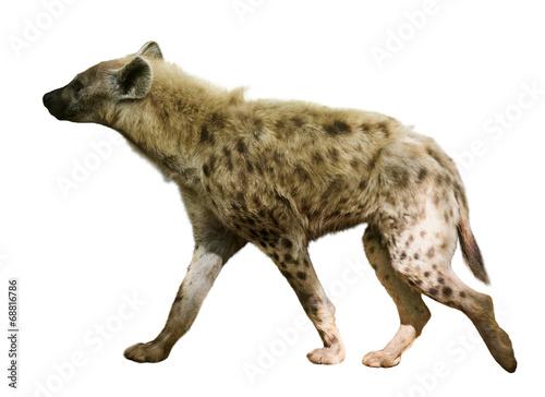 Fotobehang Hyena hyena. Isolated over white