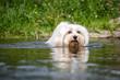 Hund geht durchs Wasser