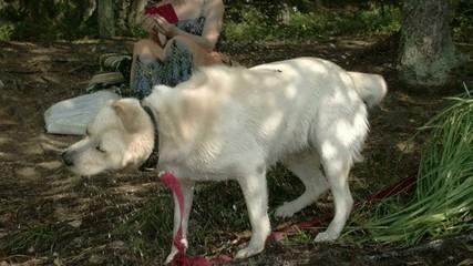 The cute Labrador retriever dog Sony FS700 Odyssey 7Q 4K