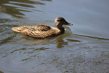 Brown Duck in Pond