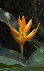 Heliconia angusta