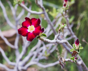 Impala Lily Flowers in garden