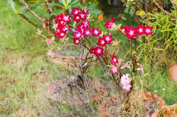 Impala Lily flower on garden background stock photo