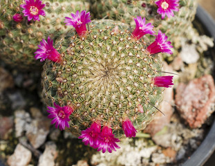 Pink cactus growing macro closeup background stock photo