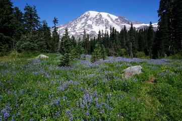 Rainier Purple Meadow