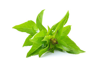 basil leaves on white background