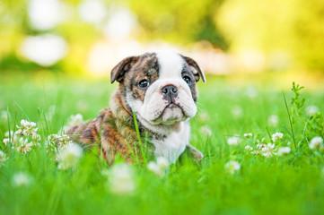 English bulldog puppy sitting in the grass
