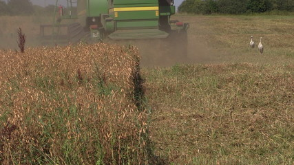 Harvester machine trash pease plants in agricultural field