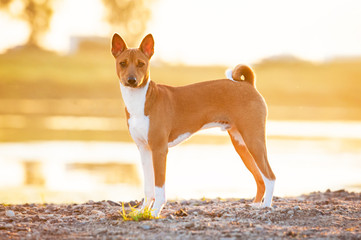 Basenji dog standing neat the river at sunset