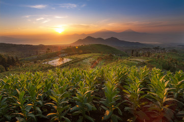 Tobacco Field at Sunrise