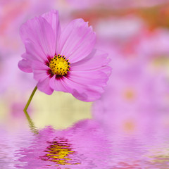 Closeup of pink cosmos flower above the water