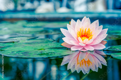 Beautiful Pink Lotus, water plant with reflection in a pond - 68827181