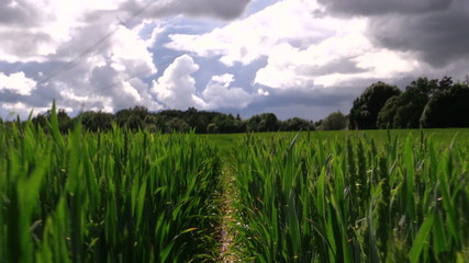 Walking with camera between industiral wheat field in summer