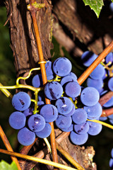 Bunches of grapes ready to harvest