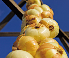 Closeup of   onion  hanging