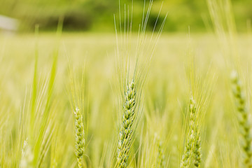 Closeup of green wheat ear on the field  in summertime