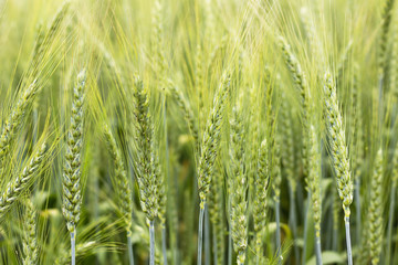 Closeup of green wheat ear on the field