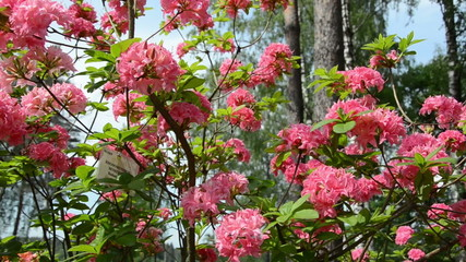 Panorama of pink rhododendron flower blooms and blurred people