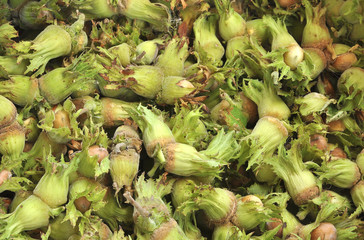 Background of ripe raw hazelnuts green closeup