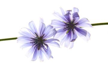 Wegwarte (Cichorium intybus)