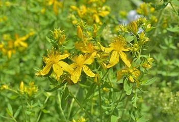 Medicinal herb hypericum 3