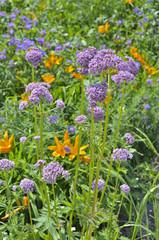 Medicinal herb valerian 1