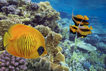 Masked Butterfly Fish and coral reef