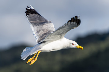 Seagull bird flying