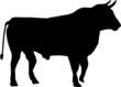 Stier - Profilansicht
