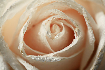petals white rose with water drops