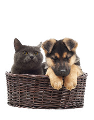 Cat and Shepherd puppy